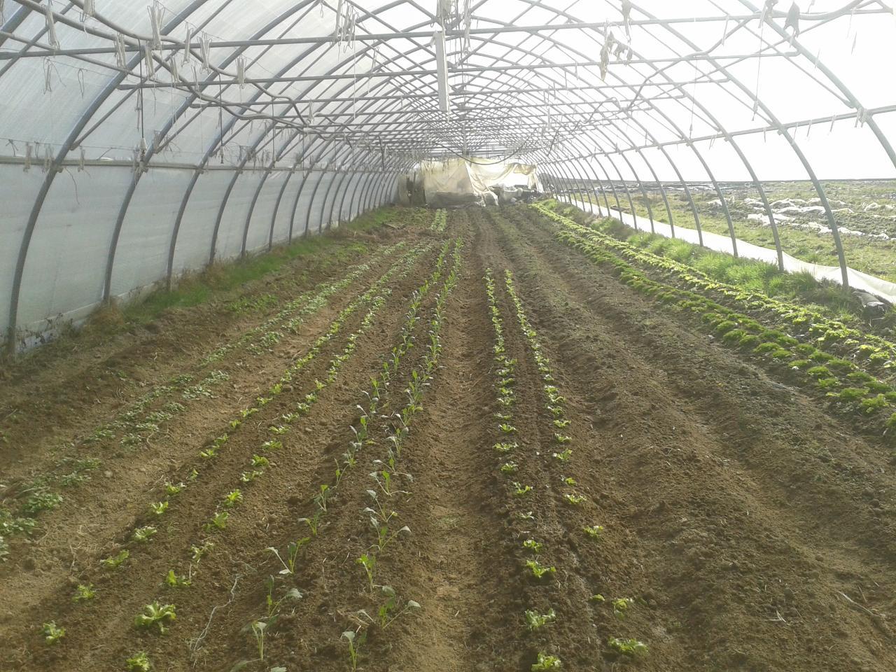 Tunnel au printemps 2-3 semaines après plantation