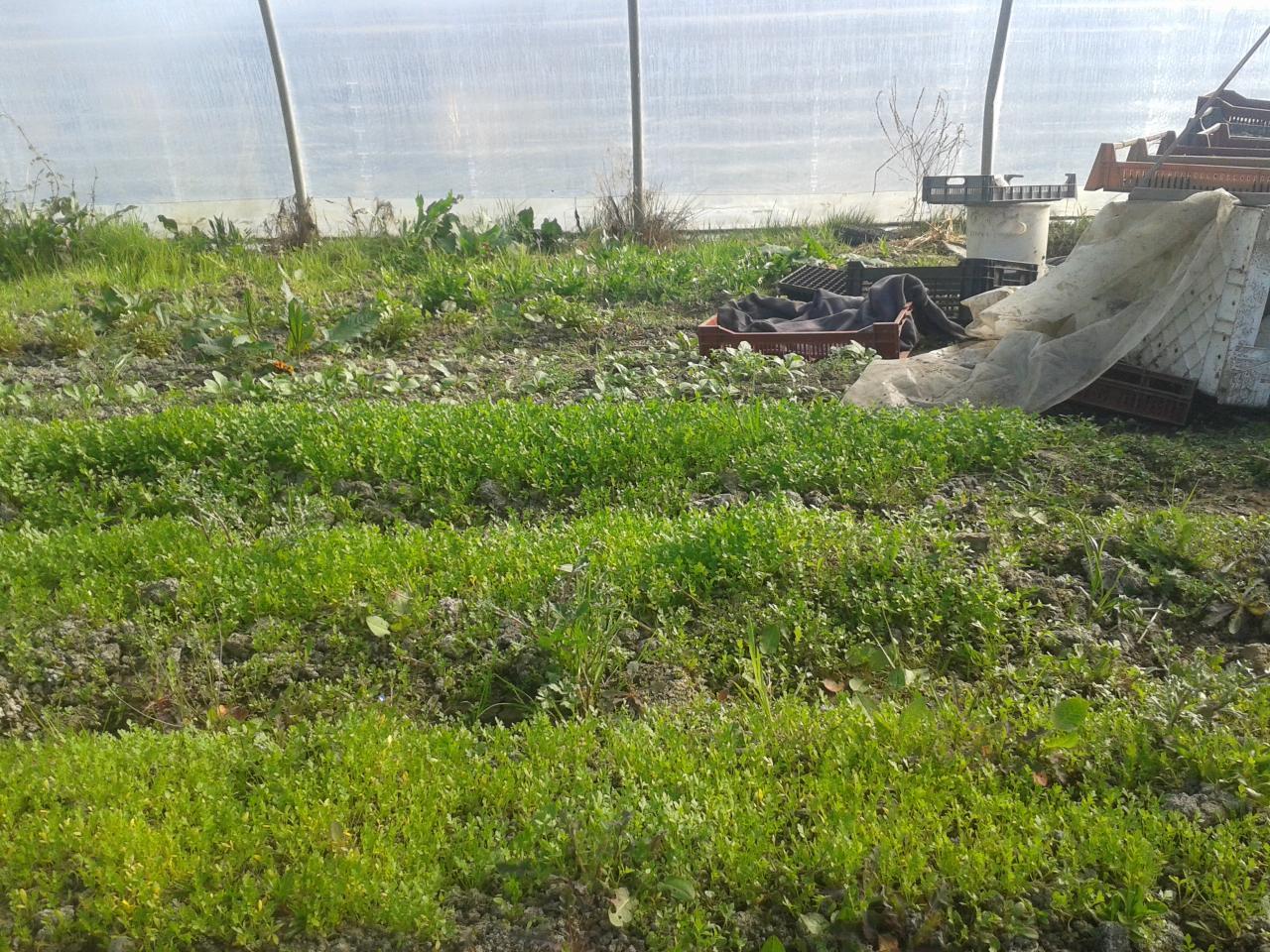 Electroculture - Culture du cresson de jardin ...