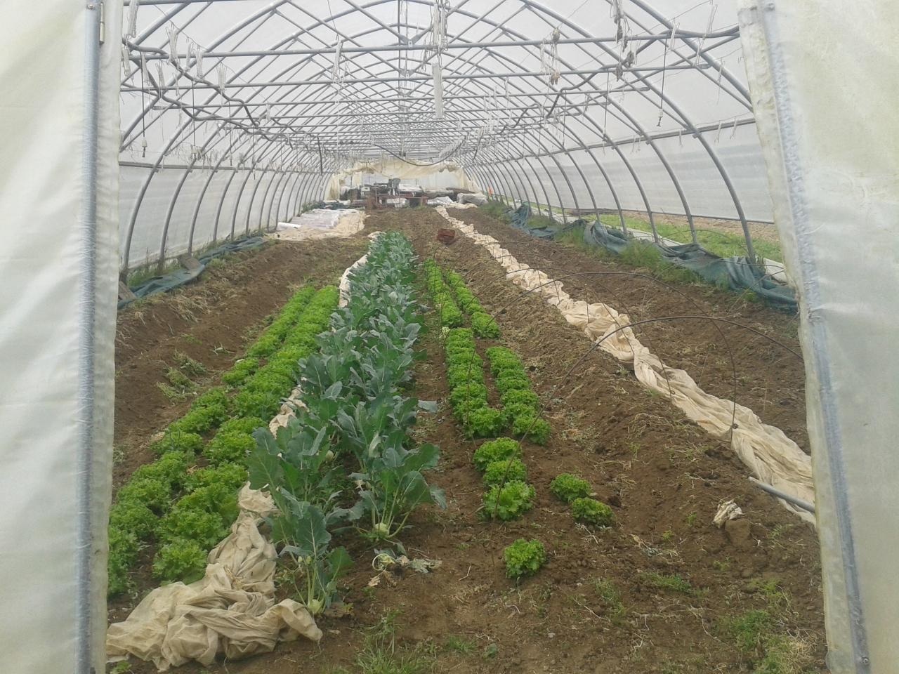 Salade et choux-rave qui ont poussé (5-6 semaines après plantation)