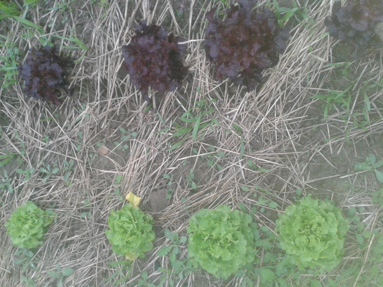 Salades sur parcelle sans travail du sol depuis 2 ans