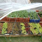 Salades et choux prêt à planter