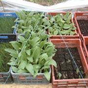 Plants d'artichauts prêts à êtres plantés