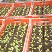 Jeunes plants d'aubergine