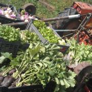 Récolte de radis, salades, navets