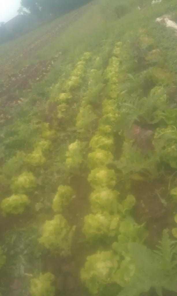 Salades entres les artichauts