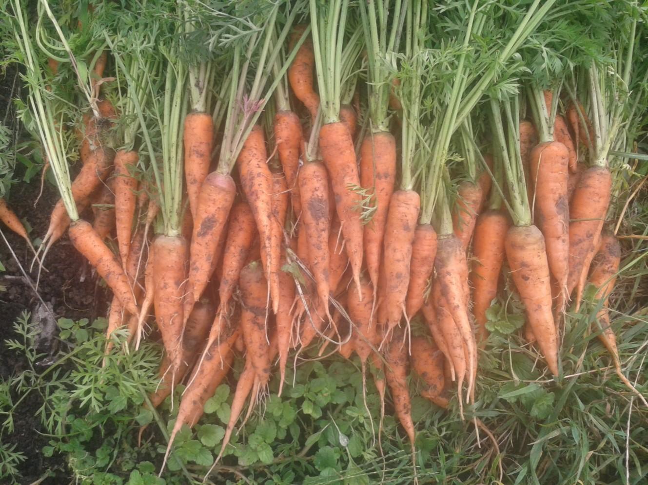 2016 carottes volees 12