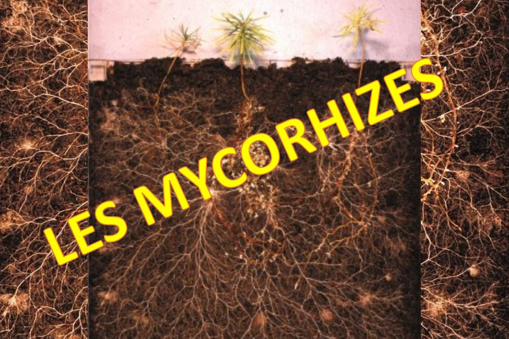 Mycorhyzes