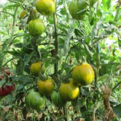 Tomate 18