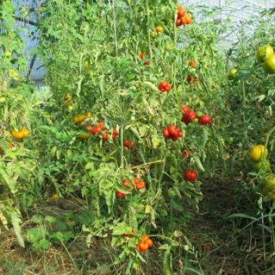 Tomates 01