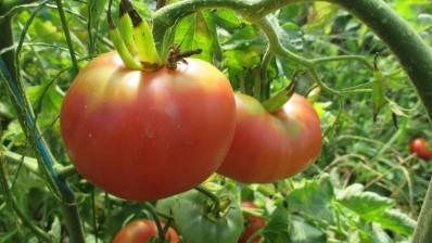 Tomates 04
