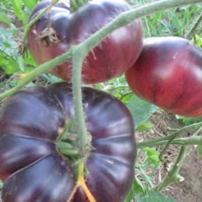 Tomates 08